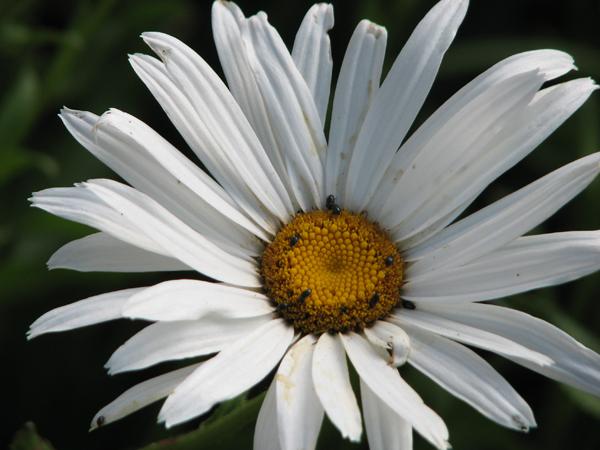 mélighète du soja/entomologie