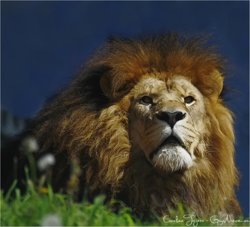 Sa majesté....le Lion
