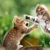 fond-ecran-combat-de-chatons.jpg