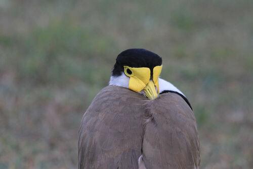 Vanneau Soldat (Masked Lapwing) NSW Australie