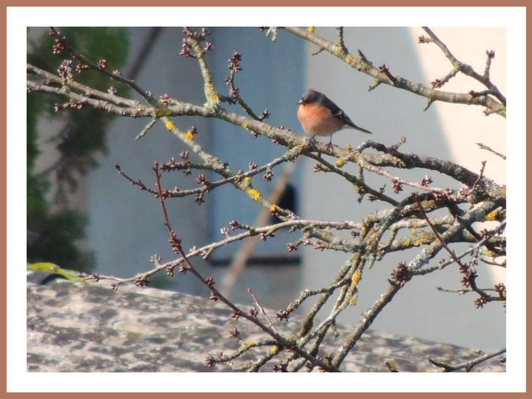 Oiseaux de nos jardins.Images gratuites.Pinson des arbres.