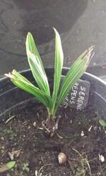 Serenoa repens sp silver pot n°2