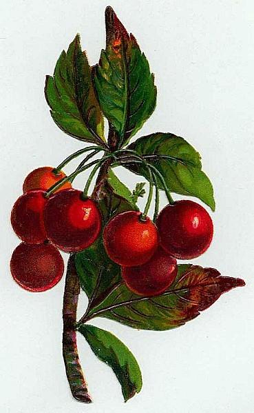 Cerises-petite-branche-Superbe-.1e172d1b.jpg