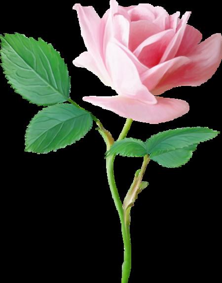Roses (divers )7