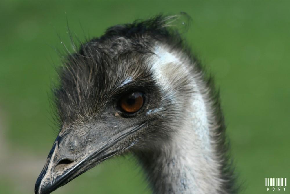 Emeu d'Austalie : Portraits