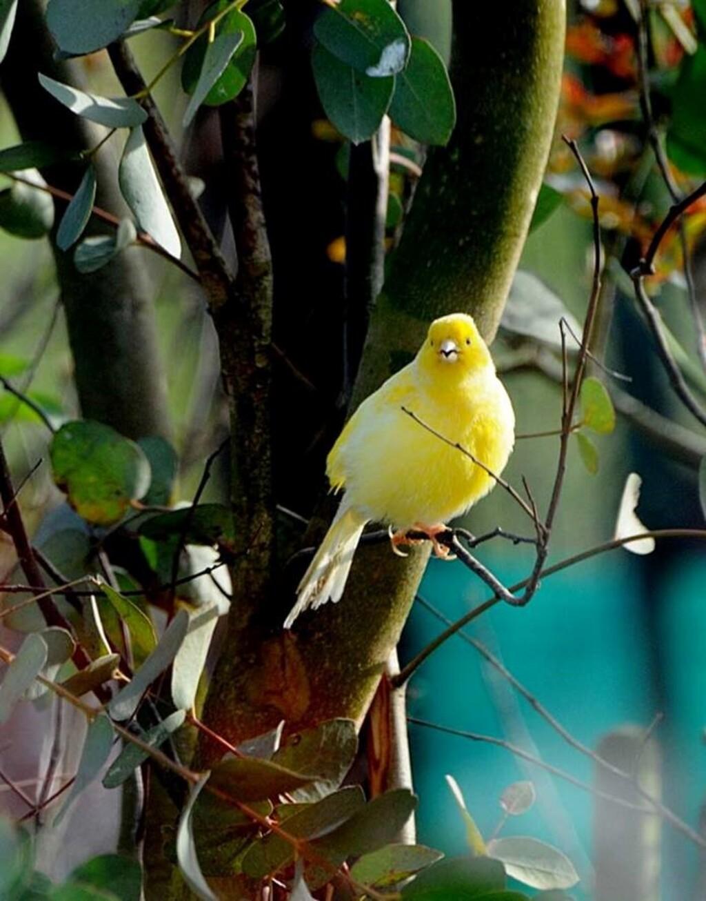 Le canari à Béthune