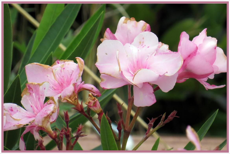 Laurier rose rose