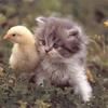 chat et canari
