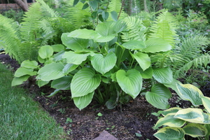 hosta plantaginea 'Grandiflora'