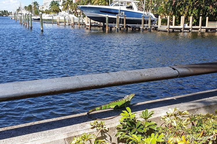 Floride : Iguane et anoli