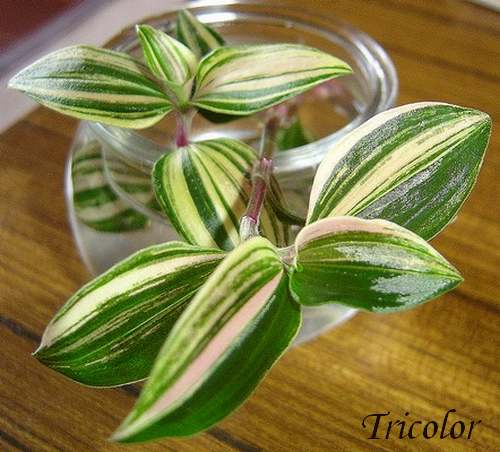 Plantes d'Intérieur : TRADESCANTIA  (Commélynacées)