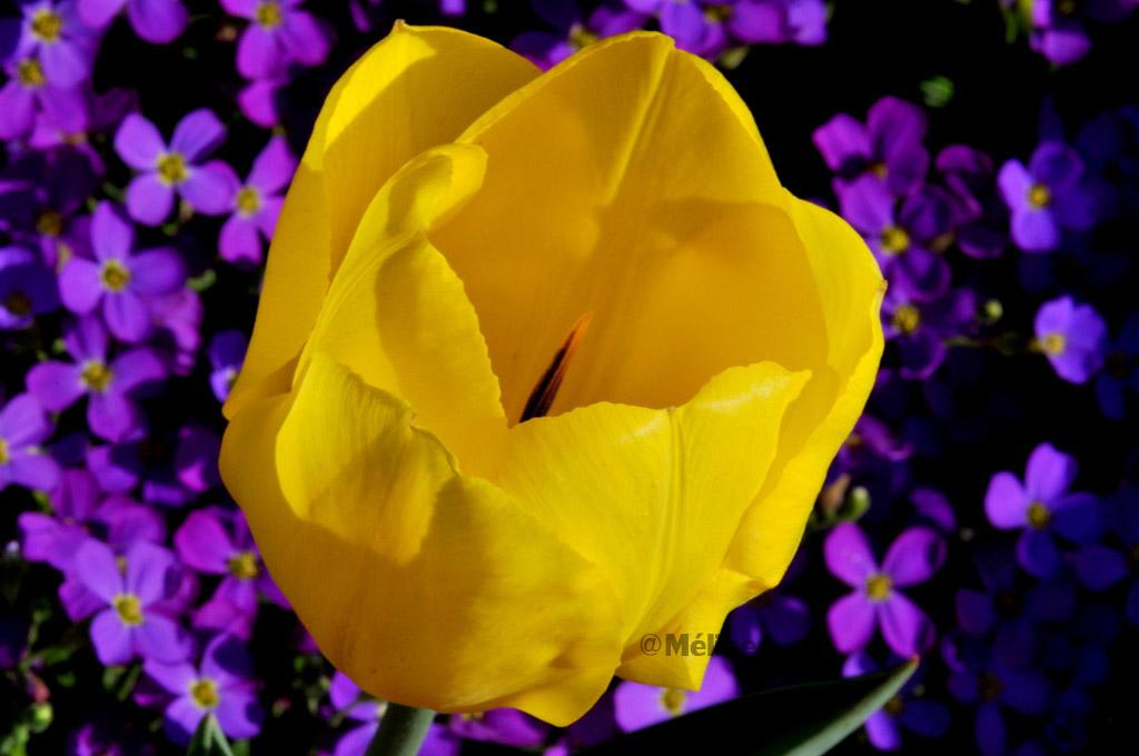 Les fleurs de mon jardin (7) La tulipe !