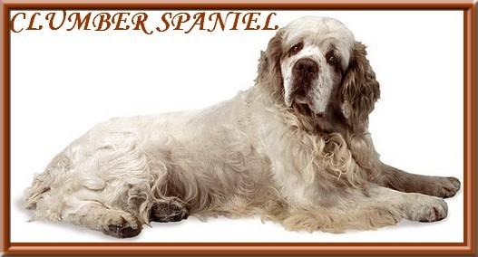 clumber spaniel-6