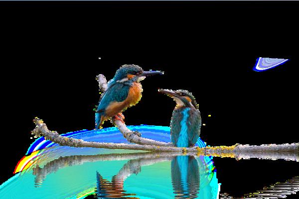 Tubes martin pêcheur