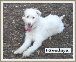 Le chien du mois d' AOUT: HIMALAYA