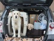 Voiture, chien et sécurité
