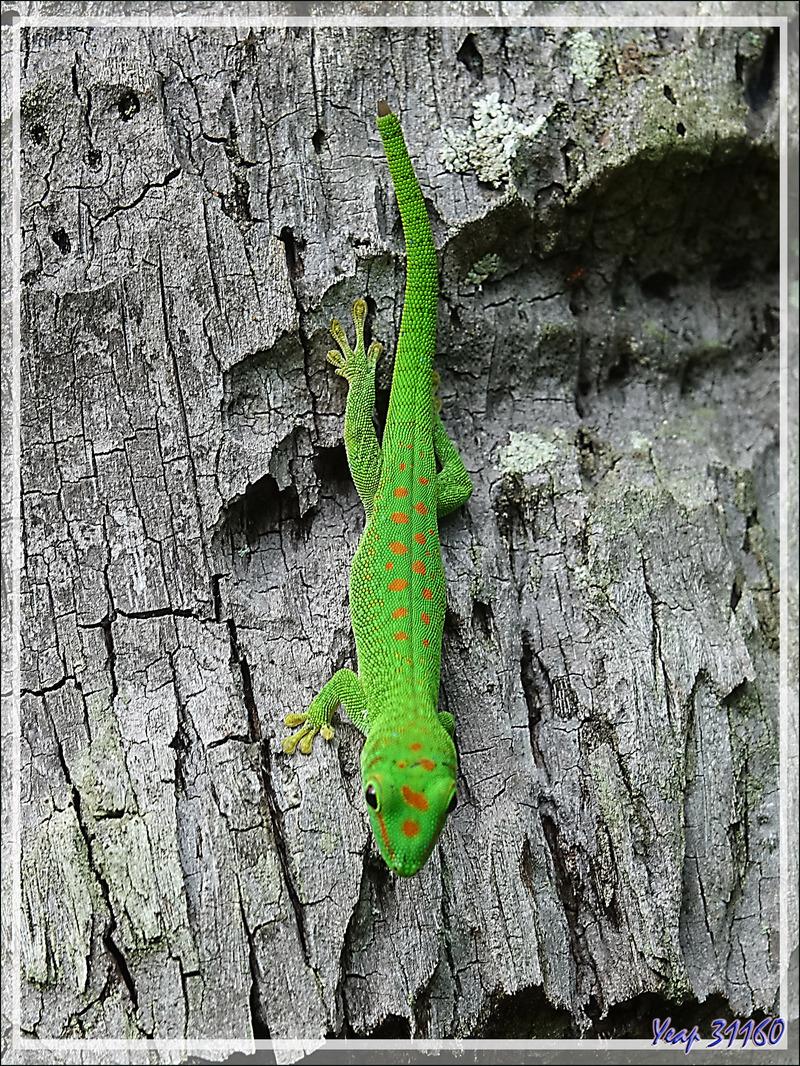 Promenade dans la forêt de Nosy Sakatia : Rencontre avec le Géant vert ... Gecko géant de Madagascar (Phelsuma madagascariensis) - Madagascar