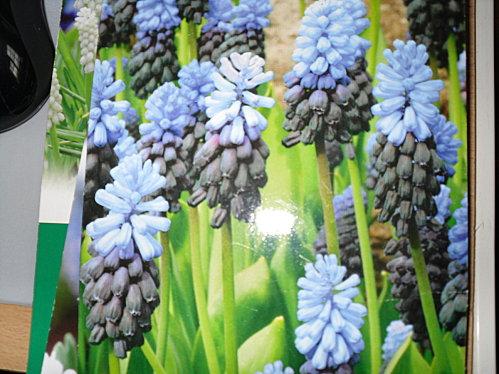 muscaris latifolium