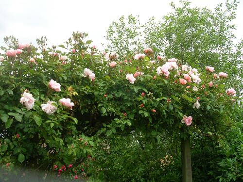 Un rosier coup de coeur: Albertine