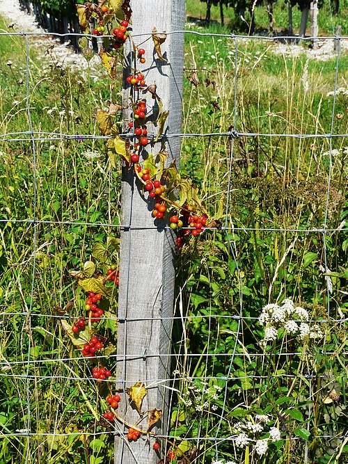 Vertus médicinales des plantes sauvages : Tamier commun