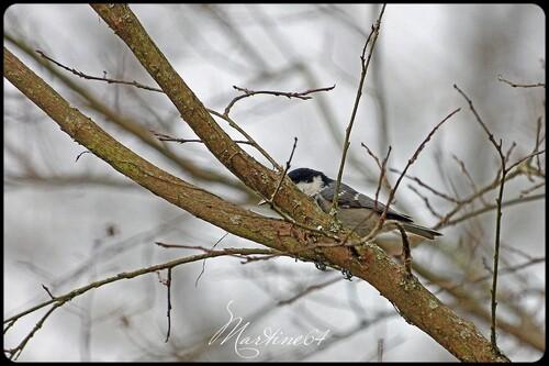 La mésange noire