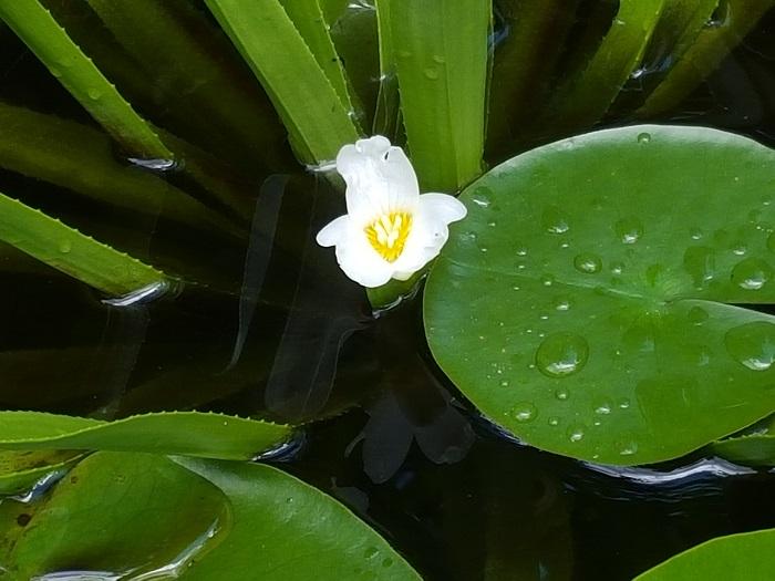 Floraisons aquatiques