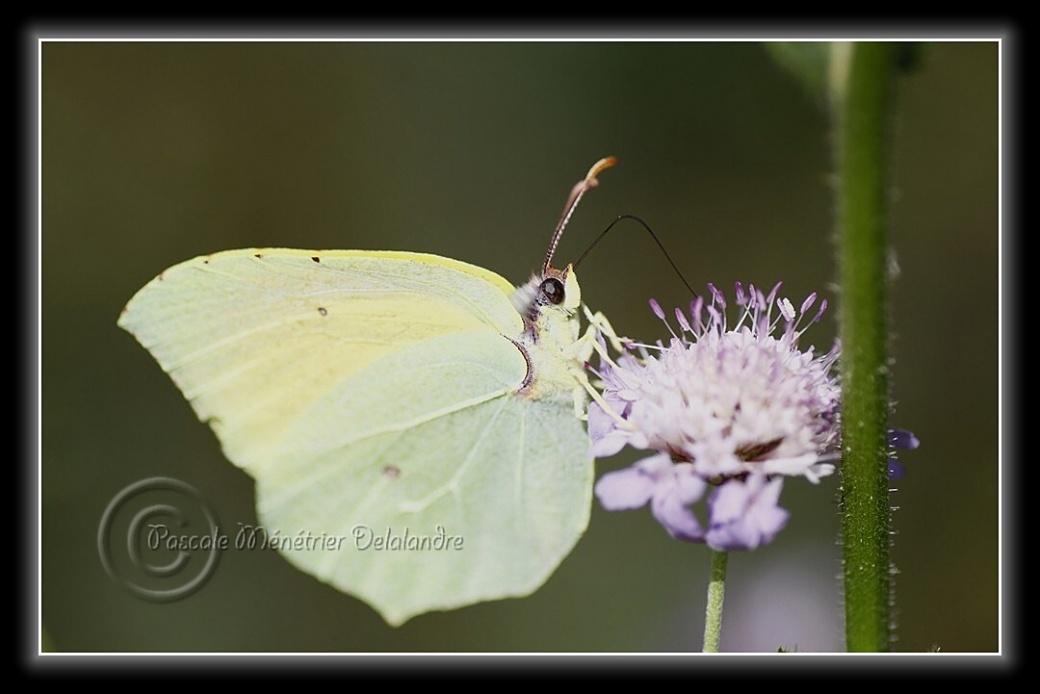 Papillons du Languedoc-Roussillon...