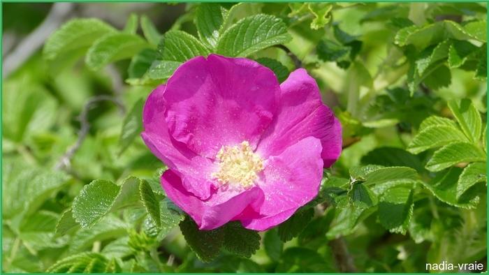 Une rose sauvage.   Photo de la semaine