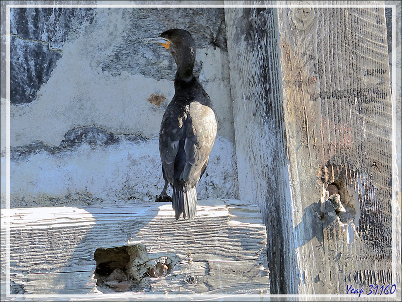 Cormoran du Cap, Cape Cormorant (Phalacrocorax capensis) - Cape Town - Afrique du Sud