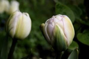Tulipes Finola3
