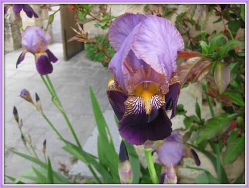 Iris et Lilas à l'abbaye de Mondaye