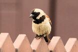 Moineau mélanure (Cape Sparrow)