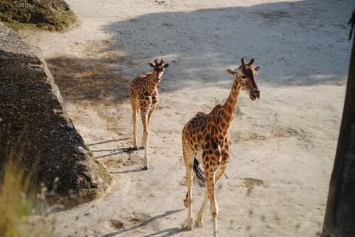 Girafon d'Afrique Centrale & sa mère