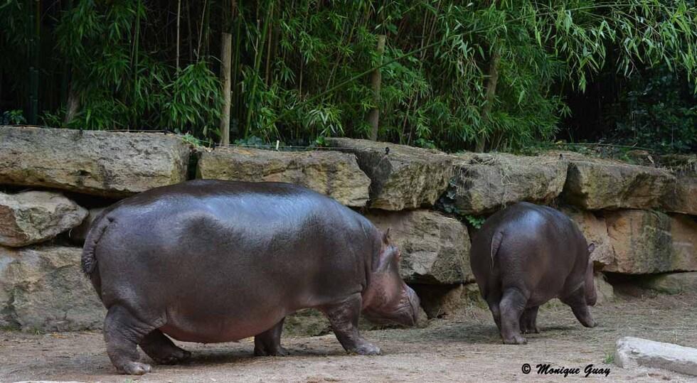 Hippopotames au zoo d'Amnéville