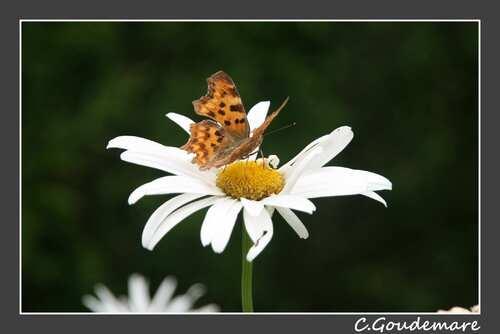 Papillon # 1