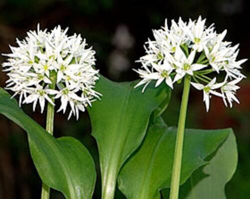 AIL DES OURS, AIL DES BOIS (Alliumursinum)
