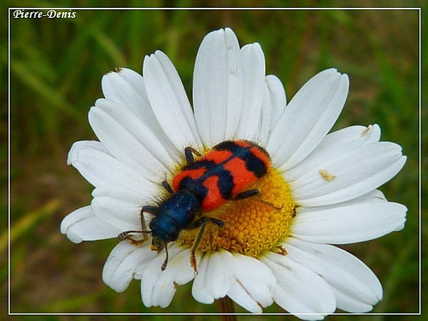 Trichode des ruches