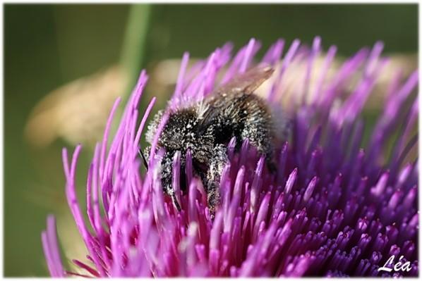 Insectes-2-2013-bourdon.jpg