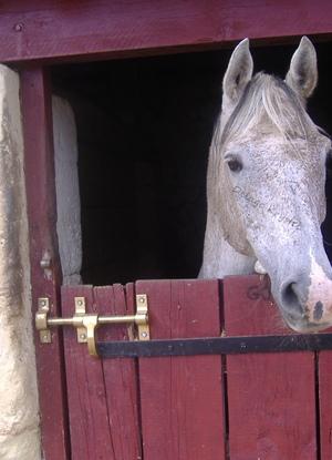 "Cheval Pur Sang Arabe ou Equus Ferus Caballus - Son nom ""Goyan"""