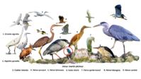 Portraits d'oiseaux (12):  le héron cendré (ardea cinerea)