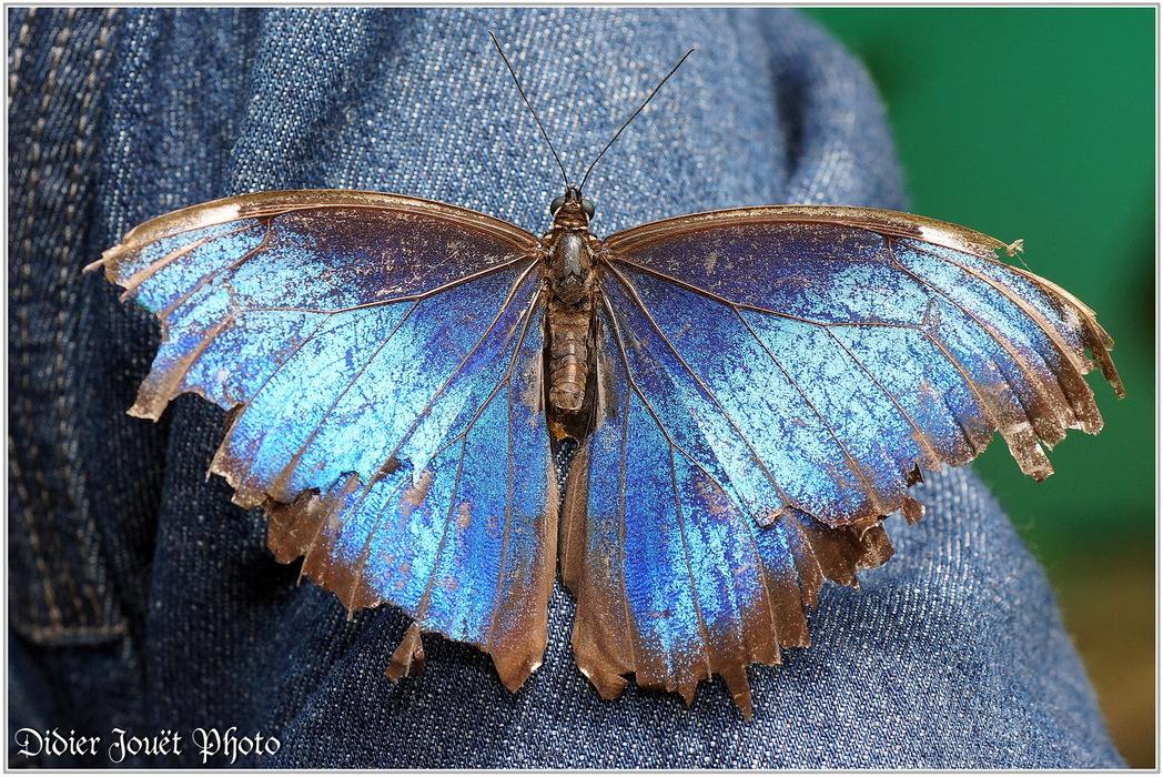 Morpho Bleu / Morpho peleides