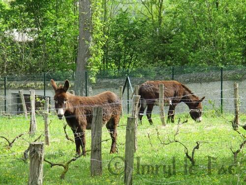Deux ânes dans une vigne + News