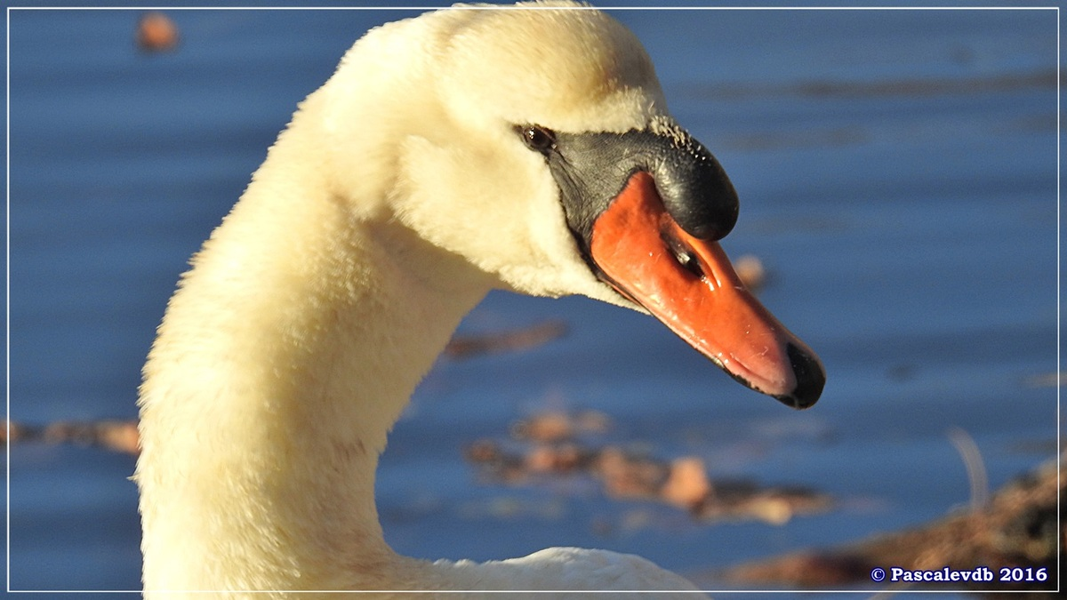 Réserve ornitho du Teich - Décembre 2016 - 10/13