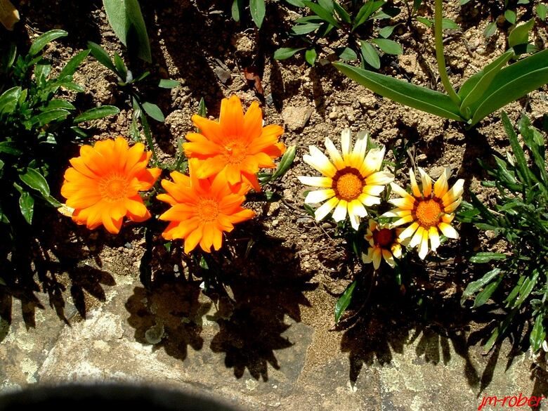 La rose de mon jardin et son dicton de Mai…........