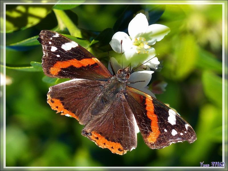 Vulcain (Vanessa atalanta) sur fleur d'oranger du Mexique ((Choisya ternata) - Lartigau - Milhas - 31