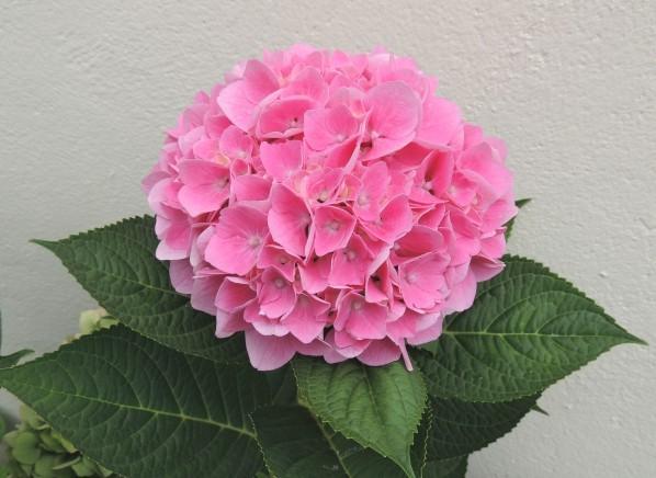 Hortensia-rose.jpg