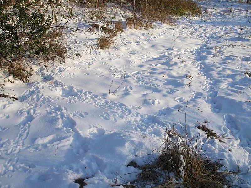 lapins-neige