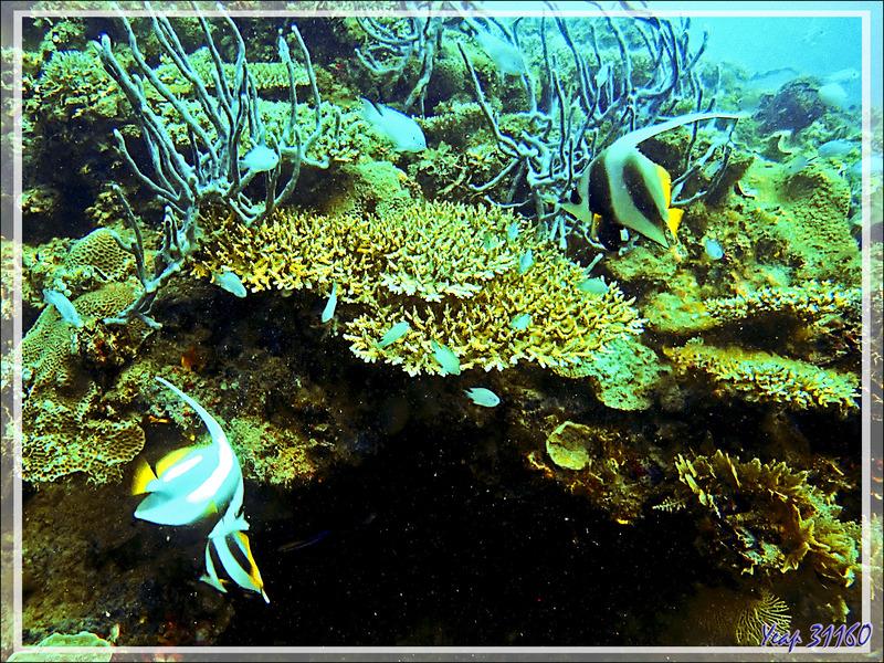 Poisson cocher commun, Pennant coralfish, Shooling bannerfish (Heniochus acuminatus) - Spot Sugar Man - Tsarabanjina - Mitsio - Madagascar