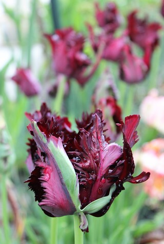 tulipes 'Black parrot'
