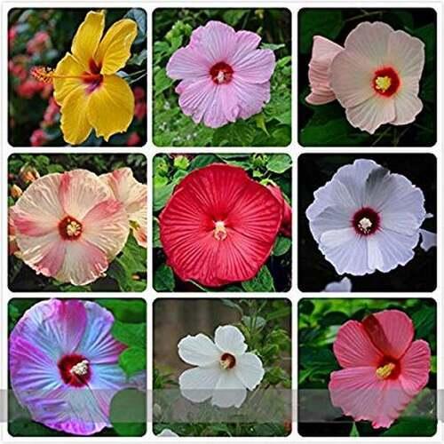 Fleurs cultivées : Hibiscus